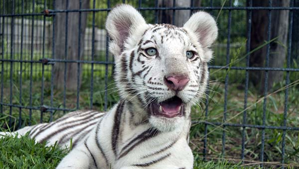 Image result for wight tiger cub
