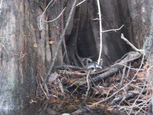 raccoon blackwater river